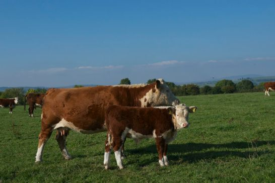 Irish Hereford Heifer Calf