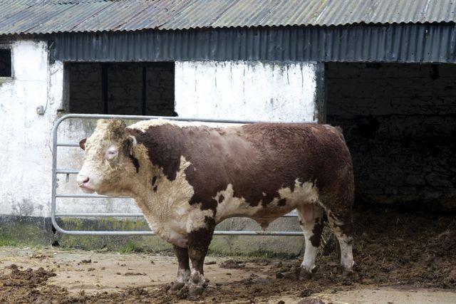 Hereford Bull Jerry-Mariela Martin Photography